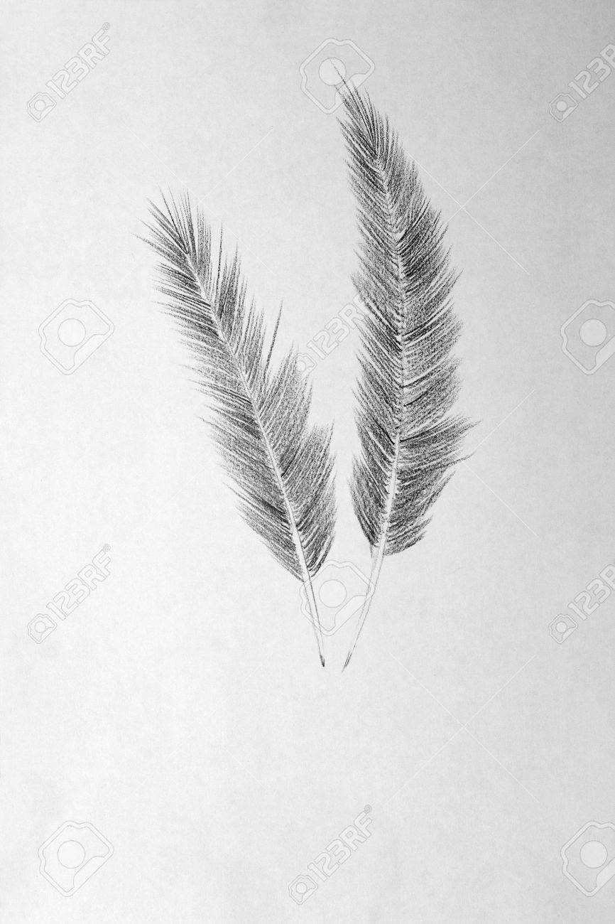 Bird Feather Drawing