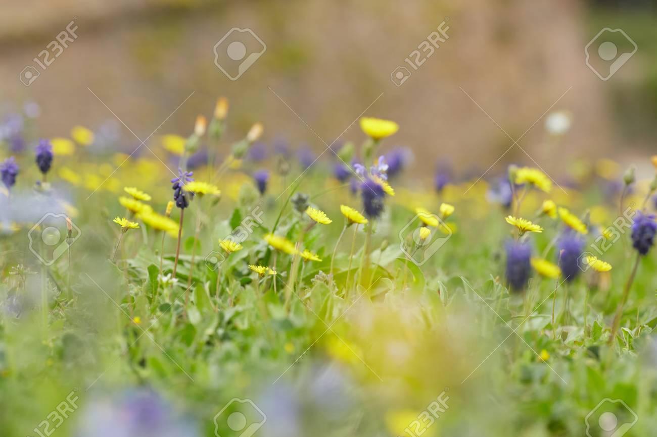 Yellow and purple meadow flowers stock photo picture and royalty stock photo yellow and purple meadow flowers mightylinksfo