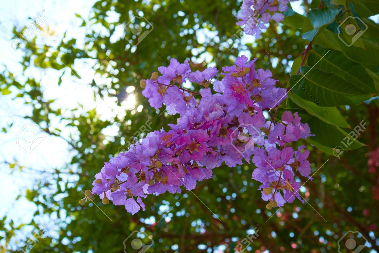 Purple pink flowers on a tree in thailand stock photo picture and purple pink flowers on a tree in thailand stock photo 55996891 mightylinksfo