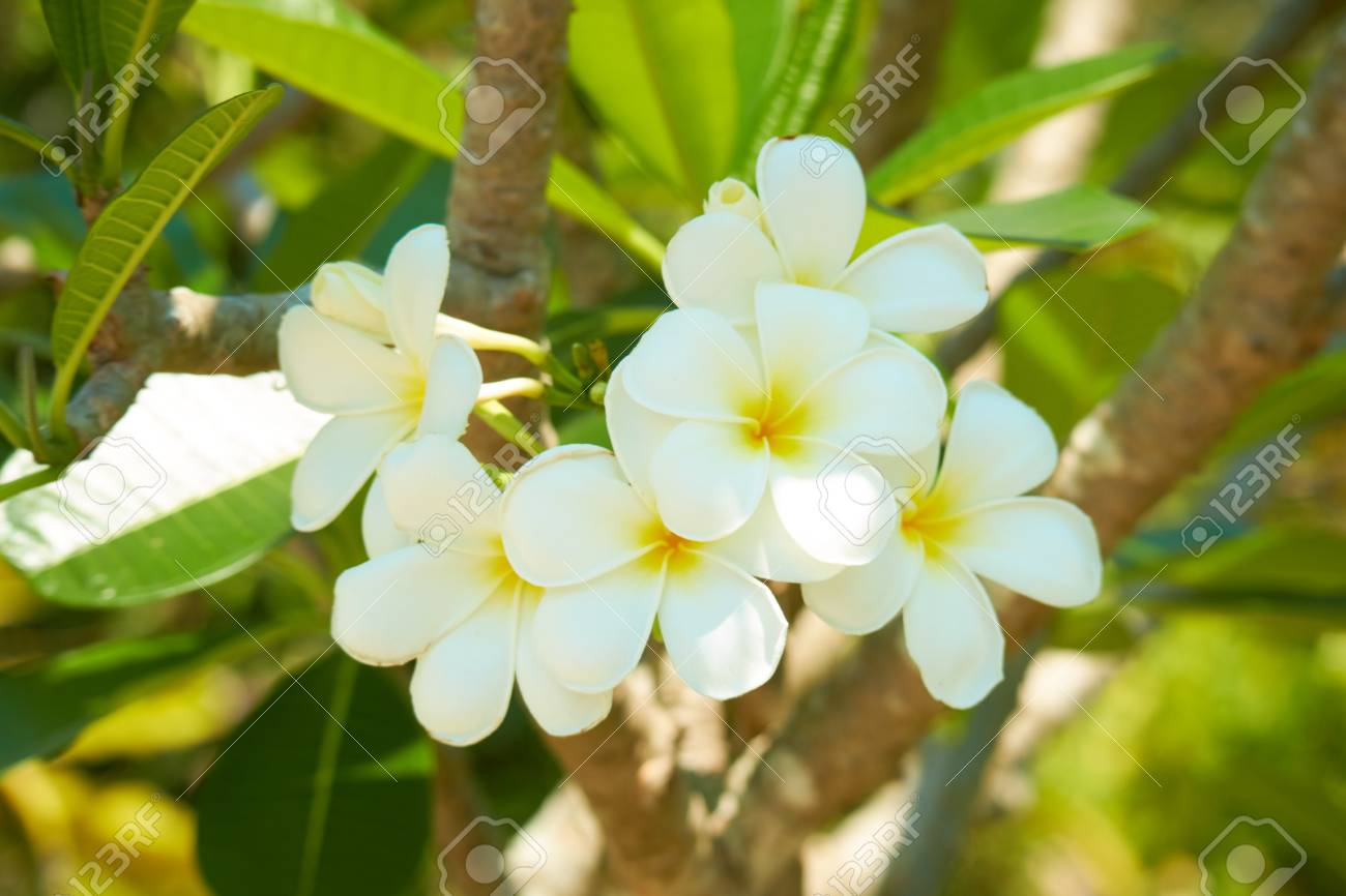 Flowering Tree With White Flowers In Thailand Stock Photo Picture