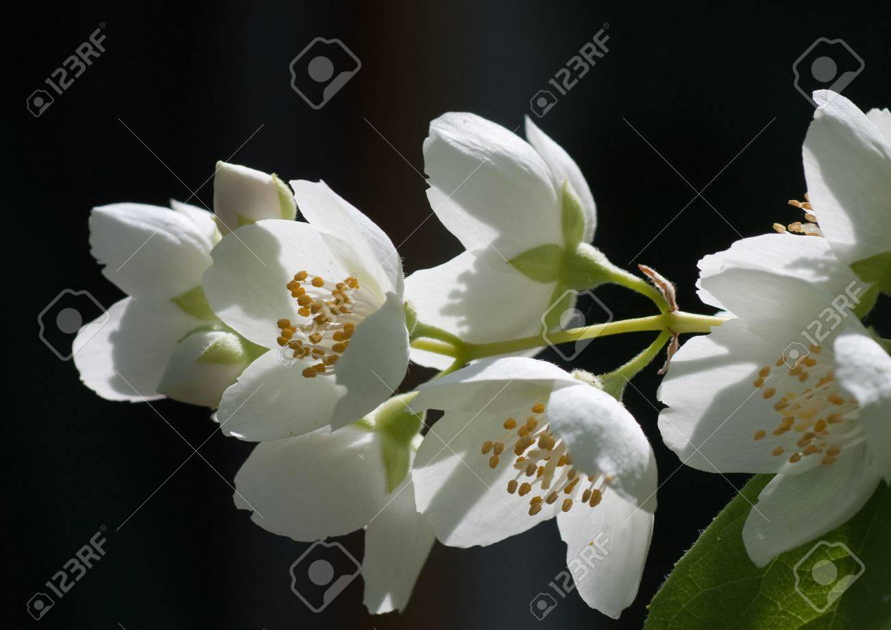Macro Shot Of Jasmine Flower Shallow Depth Of Field Stock Photo