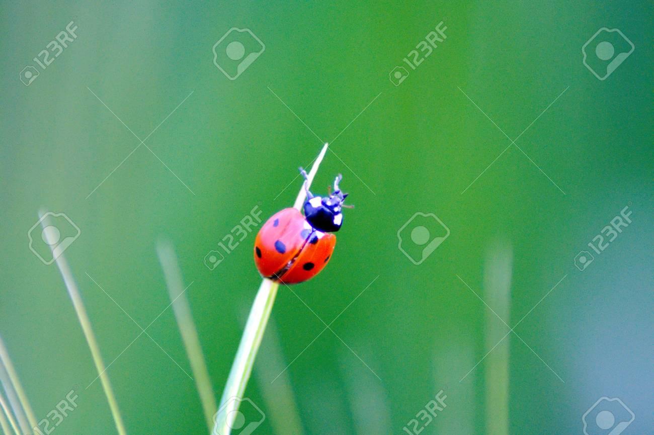 Ladybug on grass Stock Photo - 7210312