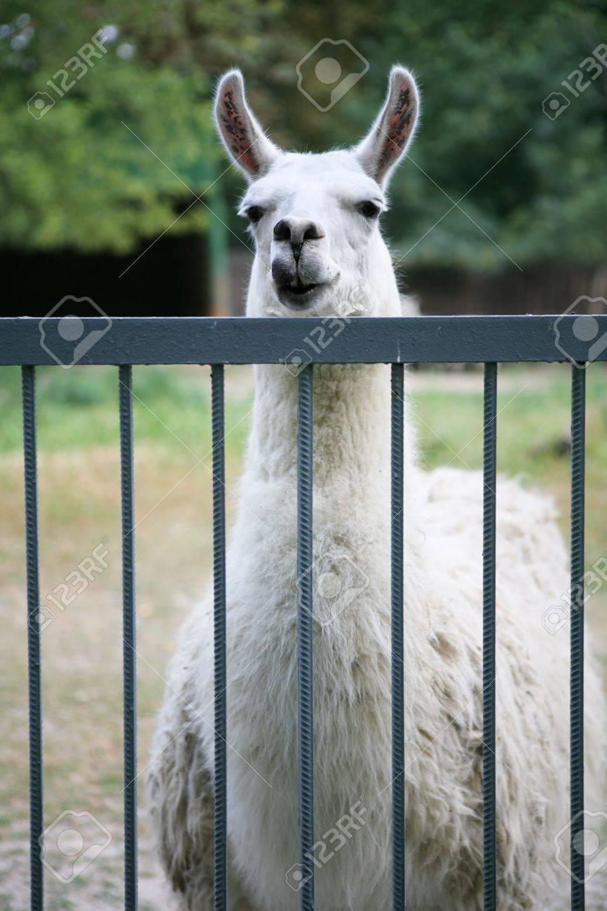 lama in the zoo Stock Photo - 4925383