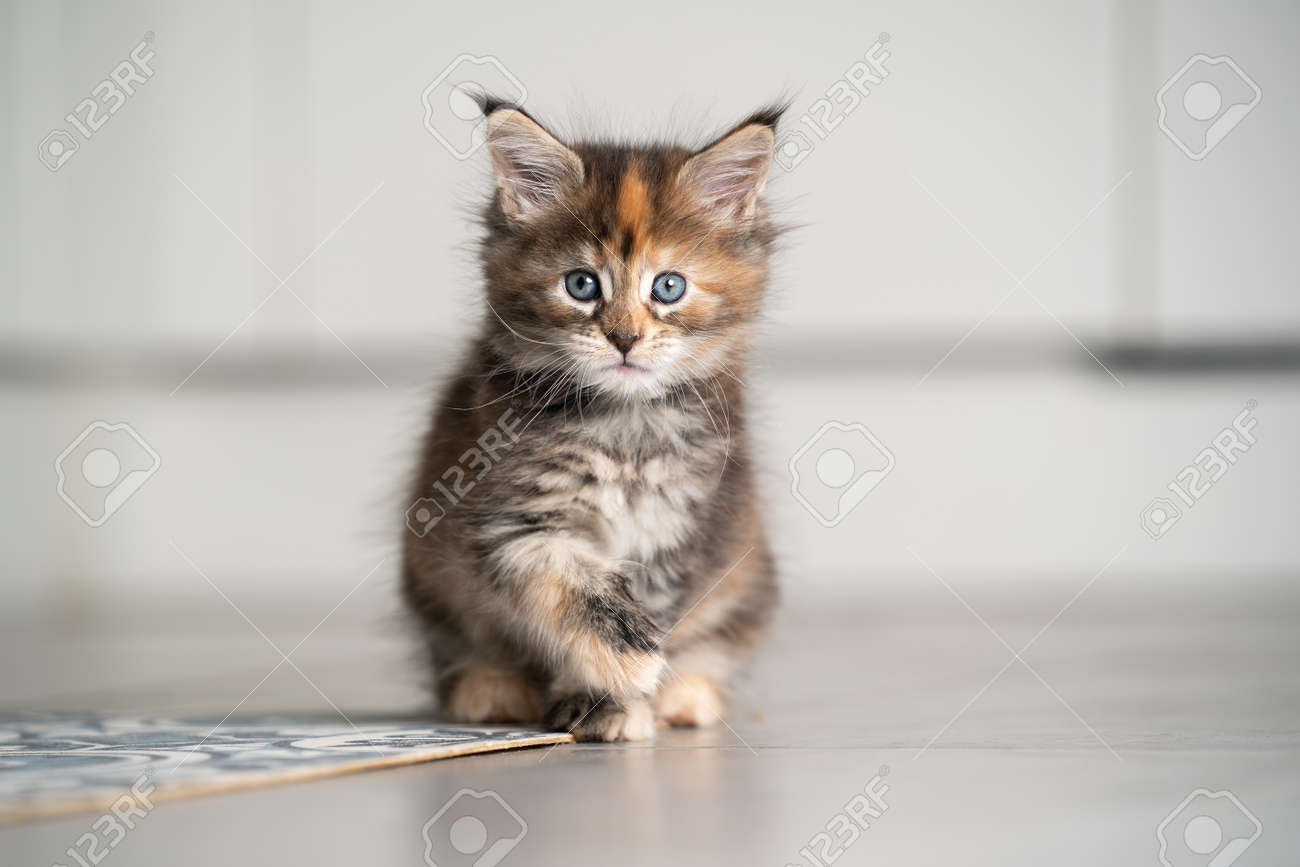 calico maine coon kitten sitting on floor with copy space - 158088200