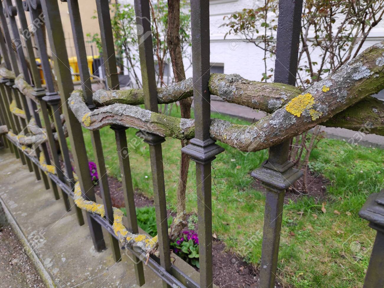 Some Mossy Big Branches Weave Themselves Through An Iron Fence Stock Photo Picture And Royalty Free Image Image 121538353