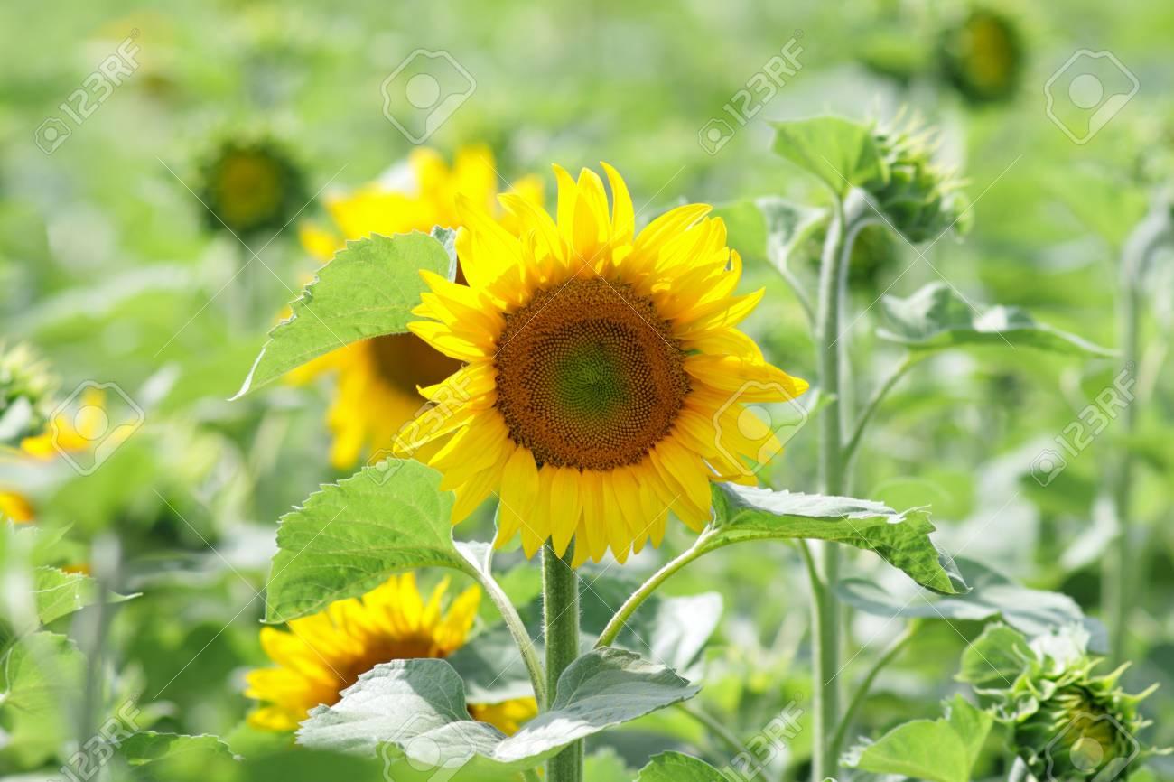 Field of bright yellow sunflowers Stock Photo - 5196436