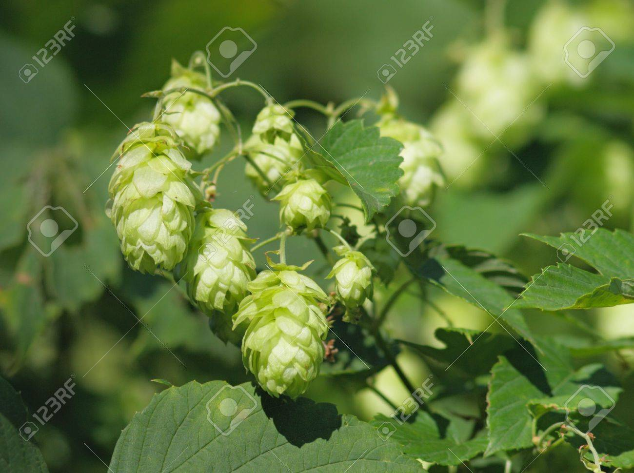 A detail view of some hop cones and the leaves of hop Stock Photo - 7667637