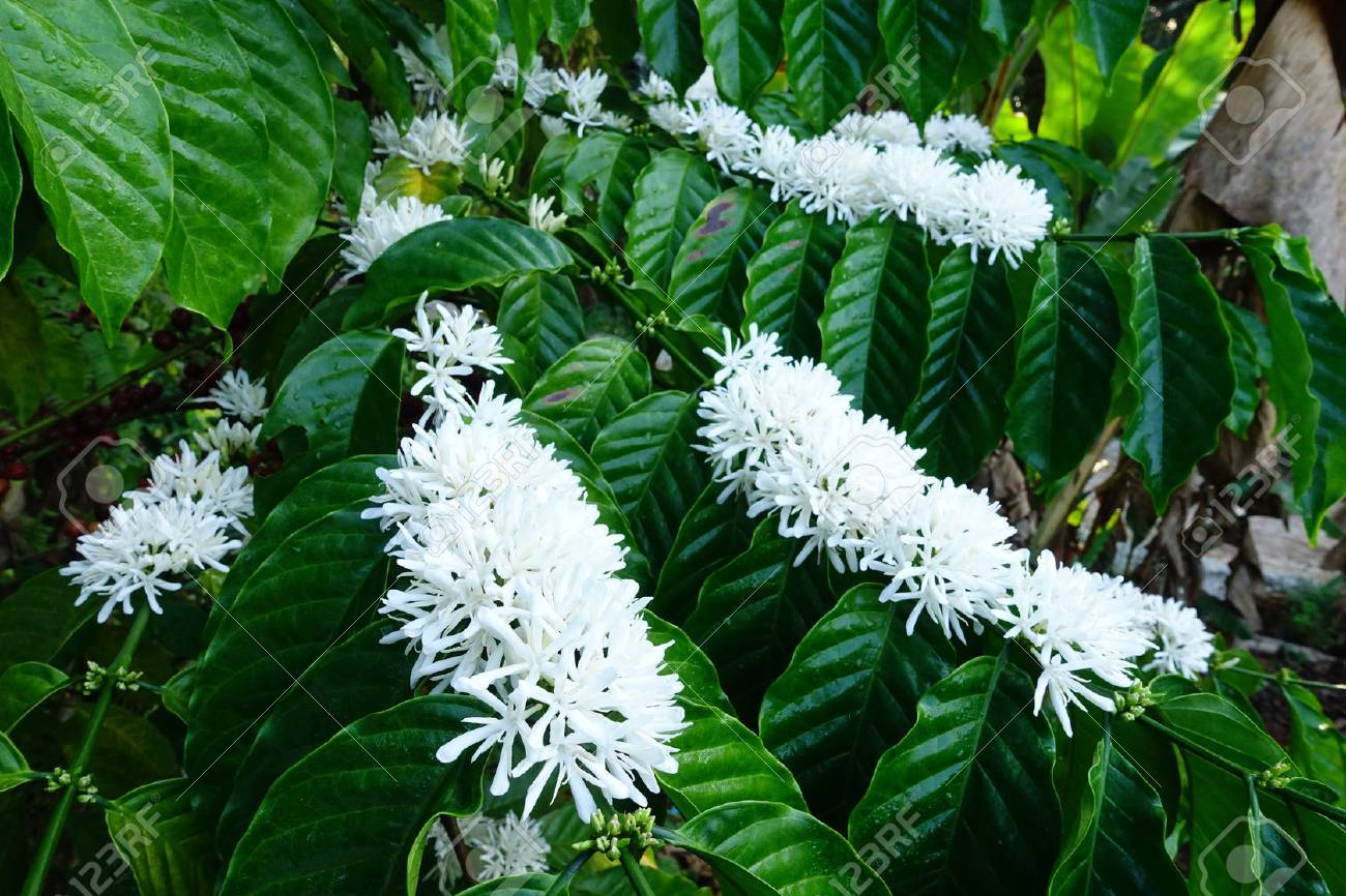 Coffee Tree Blossom With White Color Flower Close Up View Stock ...