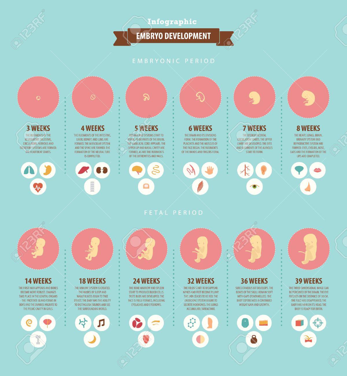 140f66ee8 El desarrollo del embrión. infografía sobre el desarrollo prenatal del niño  en semanas. datos
