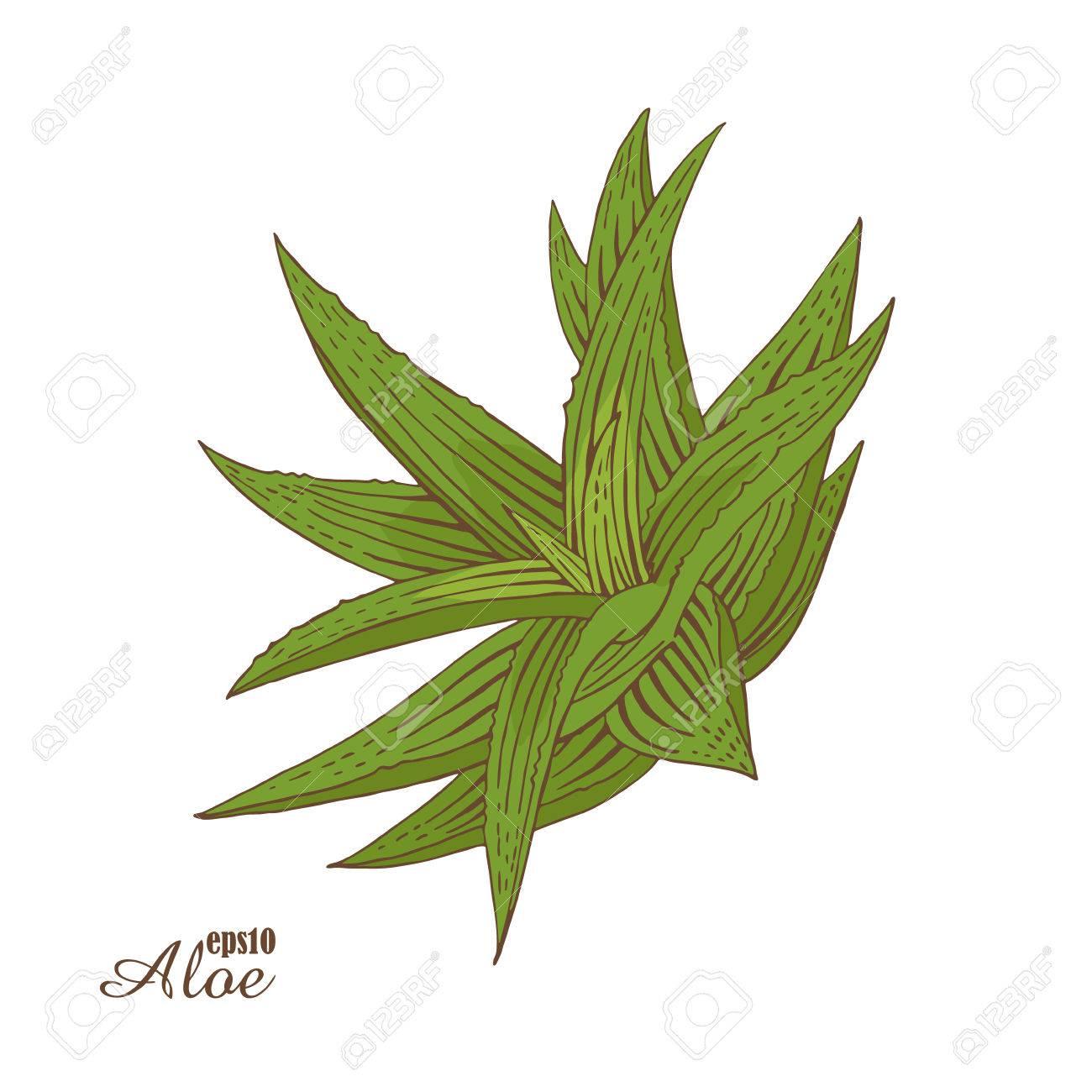 Aloe Vera Couleur Esquisse Dessinée à La Main Vector Illustration Botanique Dans Le Style De Gravure Sur Bois Plantes Médicinales Vertes L Image