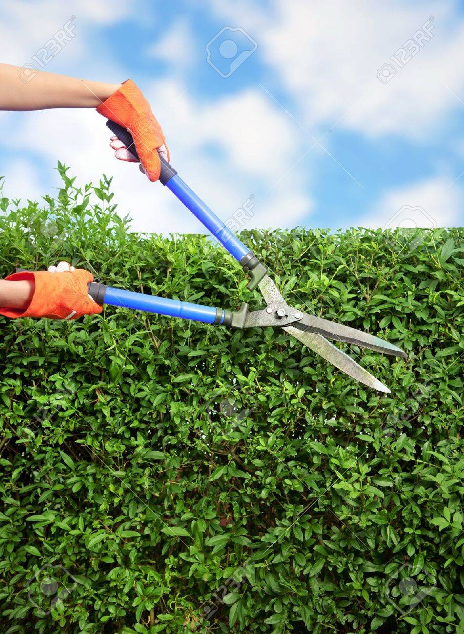 hands with garden shears cutting a hedge in the garden stock photo 16622877 - Garden Shears