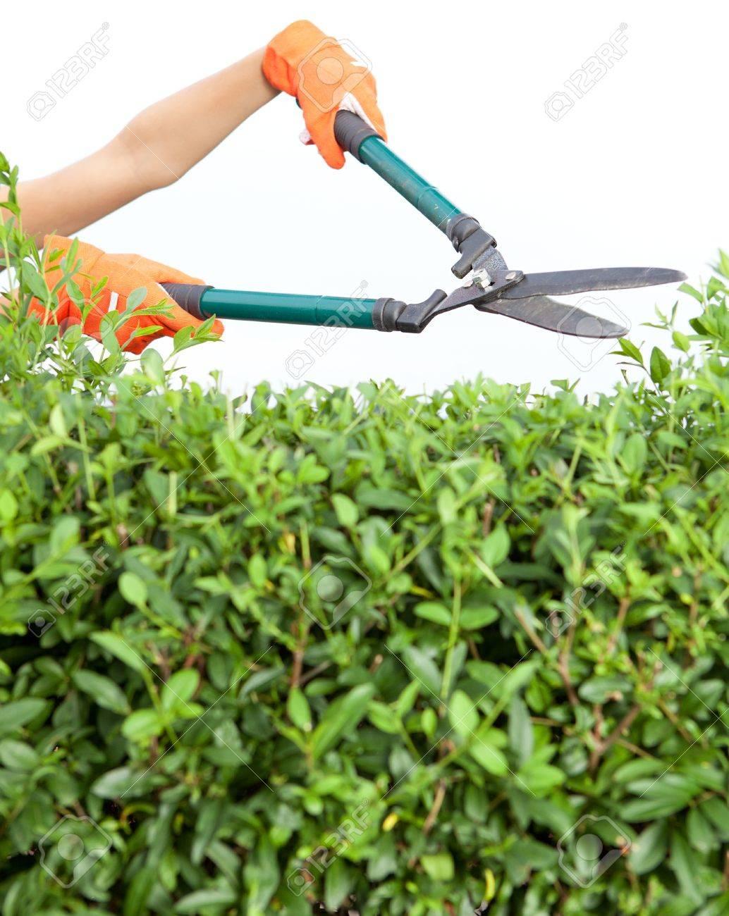 Hände Mit Gartenschere Schneiden Einer Hecke Im Garten Lizenzfreie