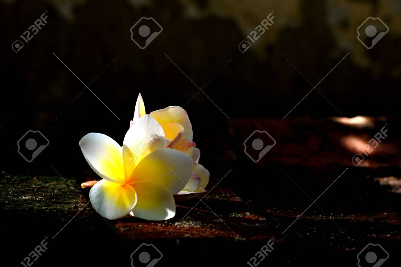 Blooming White Plumeria Or Frangipani Flowers With Spot Light Stock Photo Picture And Royalty Free Image Image 60380934