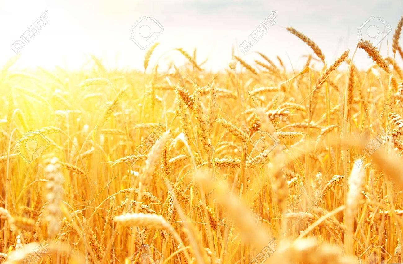 wheat field - 22230521