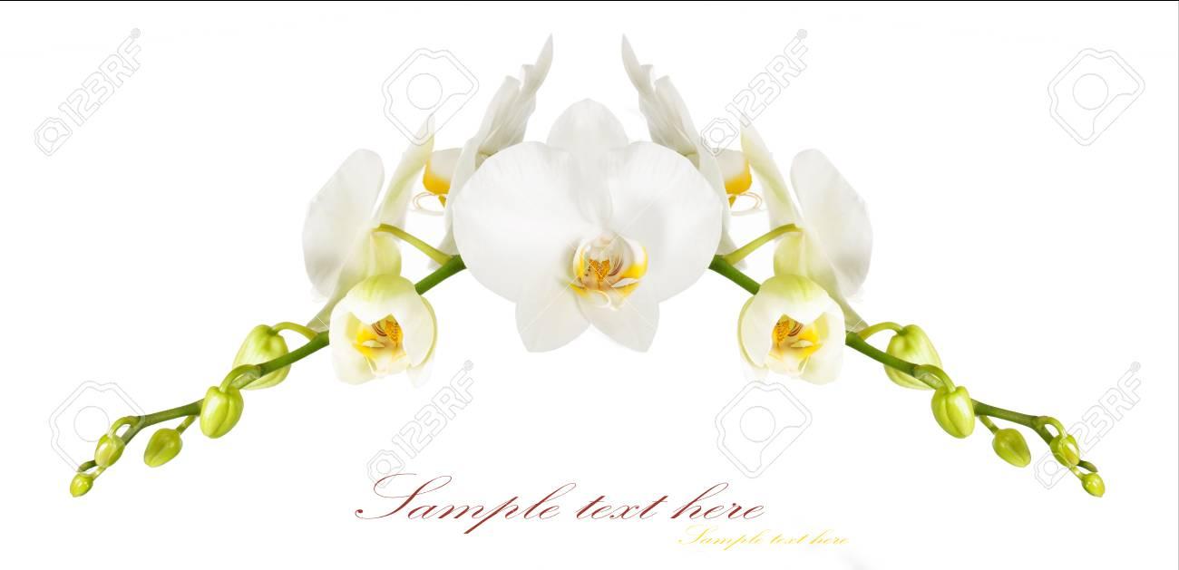 Der Rahmen Der Schönen Weißen Orchideen Auf Einem Weißen Hintergrund ...