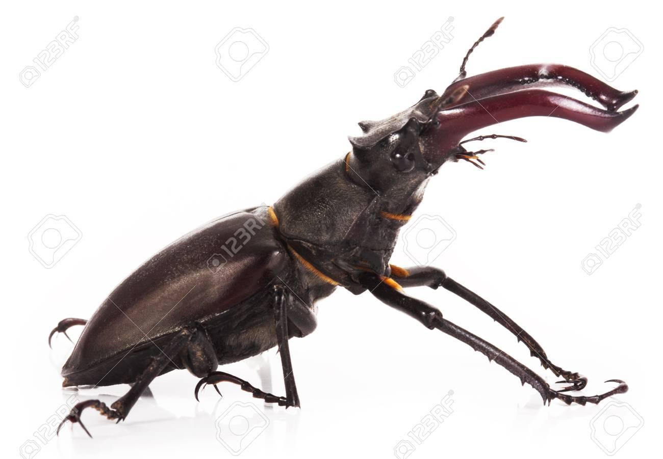 Stag beetle closeup - 34023448