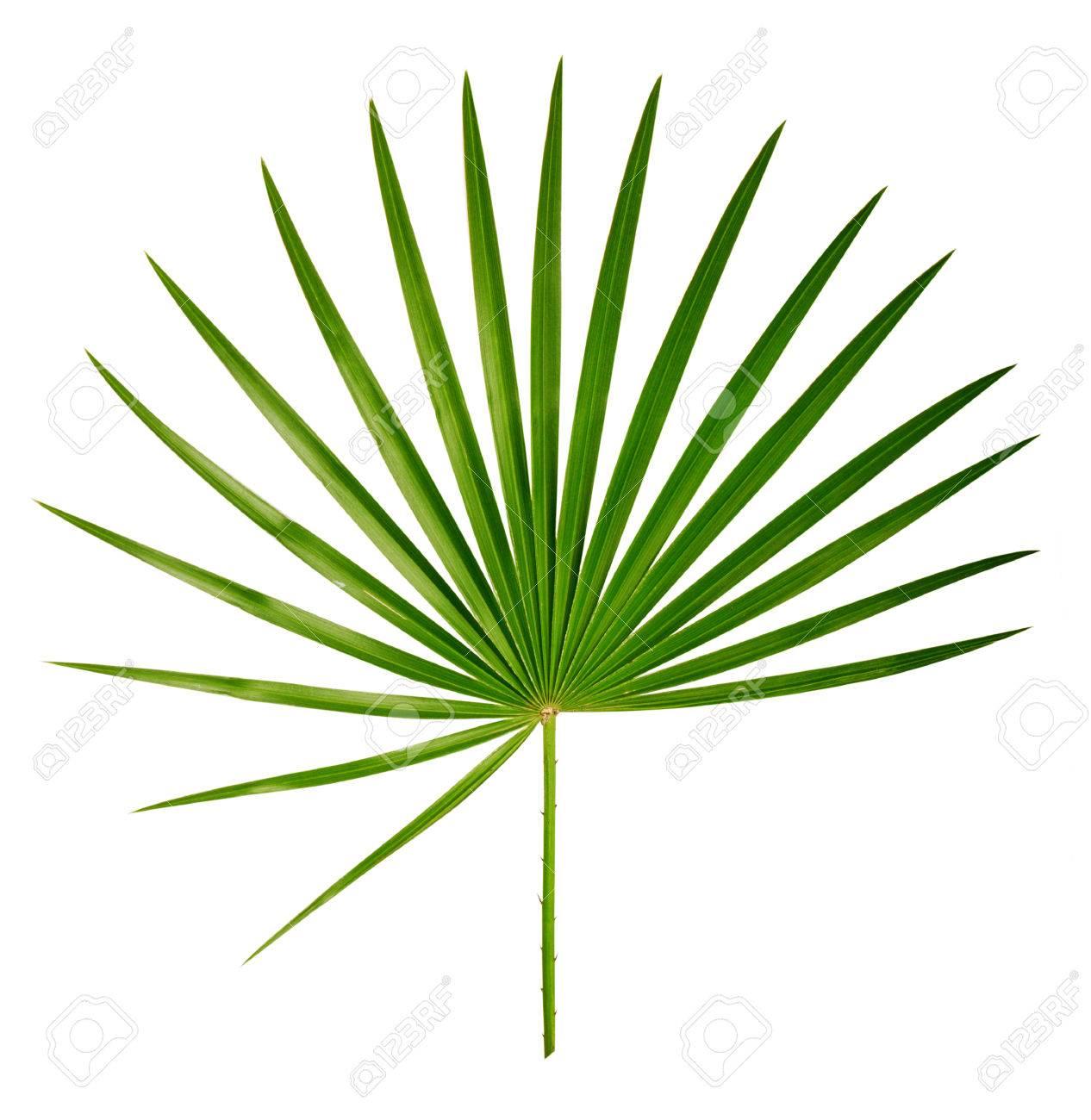 Palm leaf - 62156109