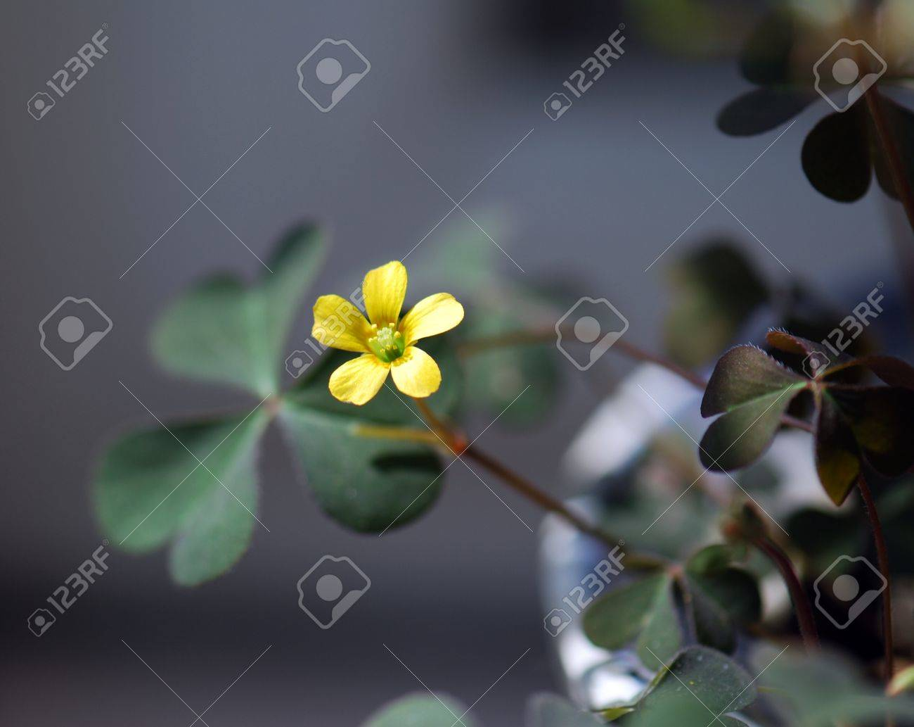 Yellow clover flowers stock photo picture and royalty free image stock photo yellow clover flowers mightylinksfo