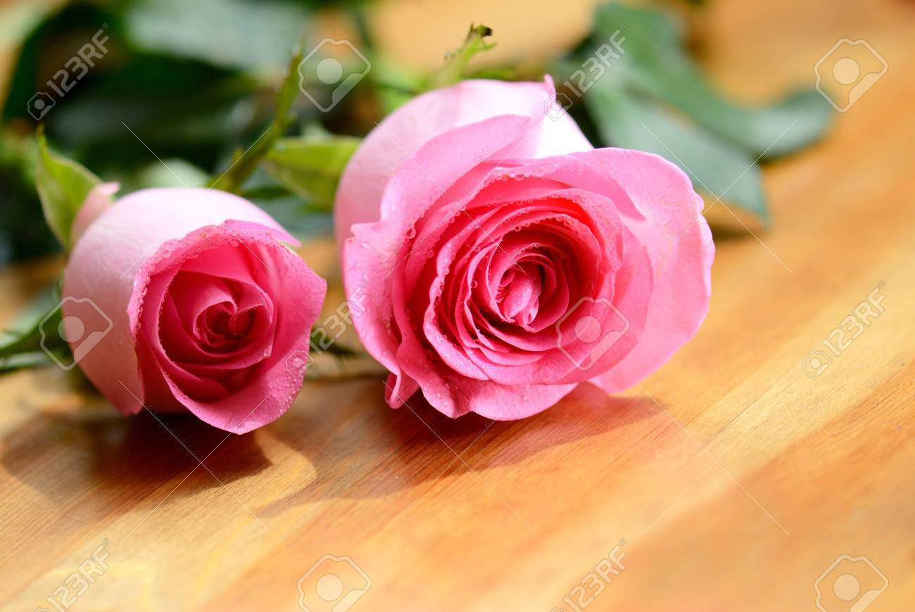 Pink rose flower close-up photo Stock Photo - 19047944