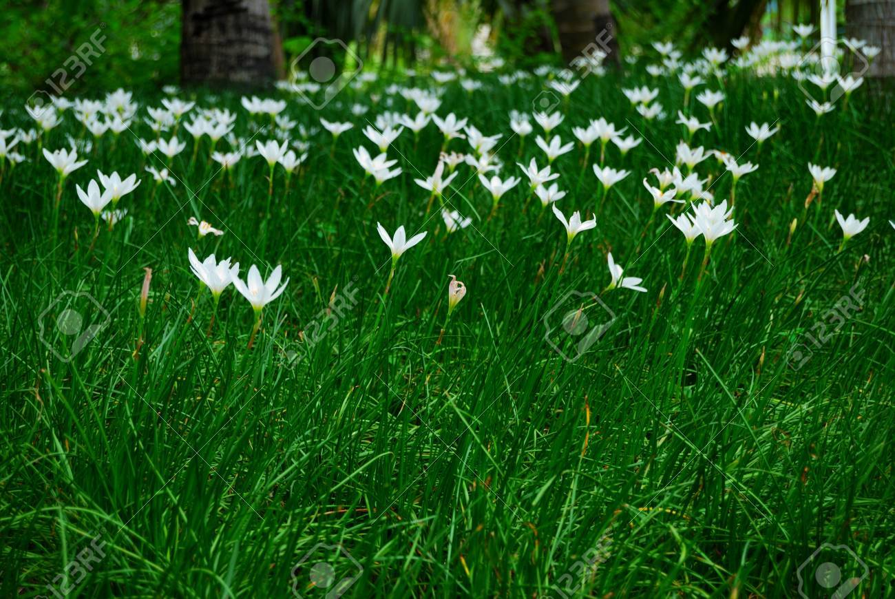 A Large Field Of White Flowers Stock Photo Picture And Royalty Free
