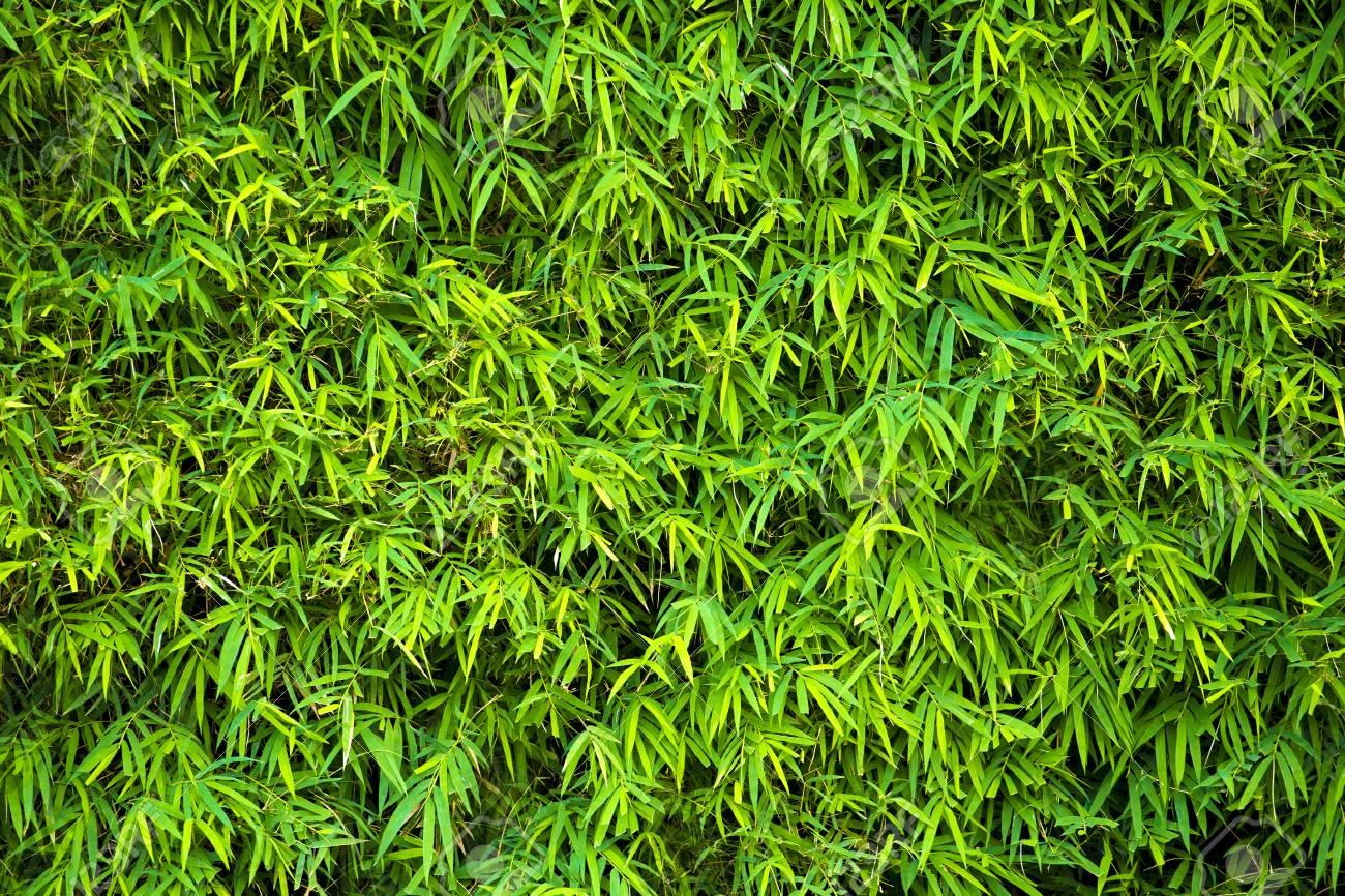 Immagini Stock Sfondo Verde Foglie Di Bambù Image 84699489