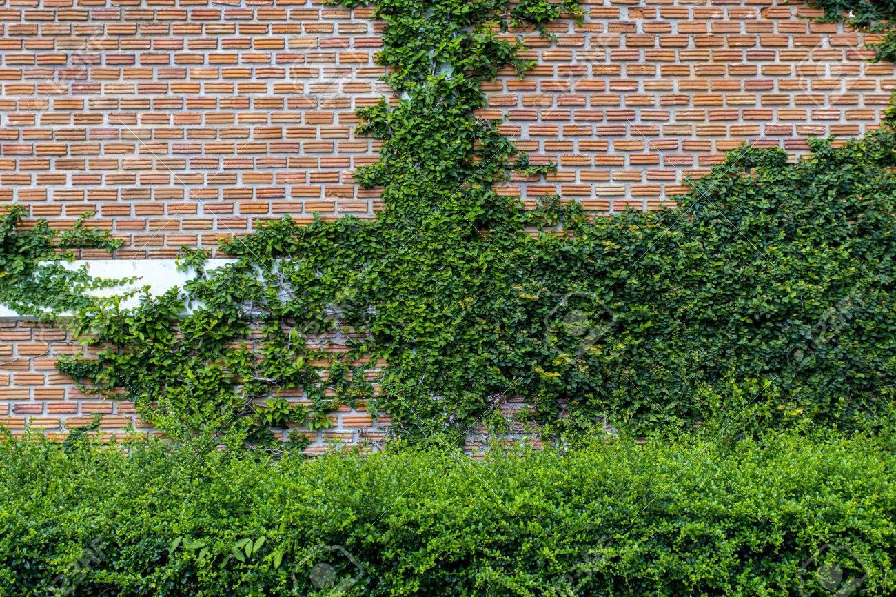 Kletterpflanze Auf Mauer Kann Auch Sagen Es Ist Vertikaler Garten