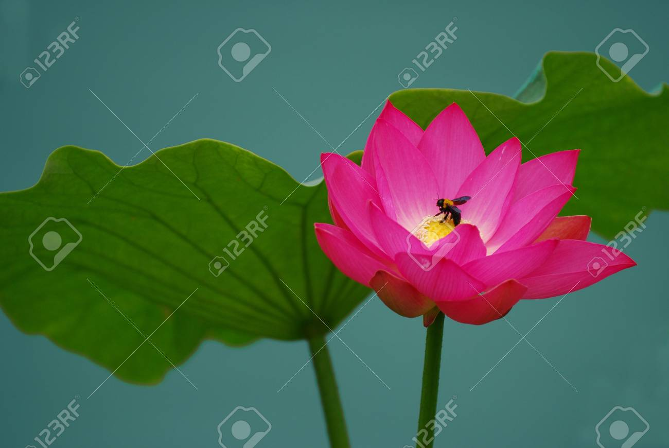 lotus Stock Photo - 7195466