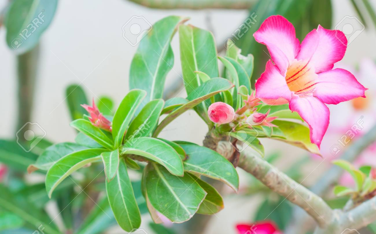 Pink Impala Lily Adenium, Desert Rose or pink flower in Thailand. Stock Photo - 16812476