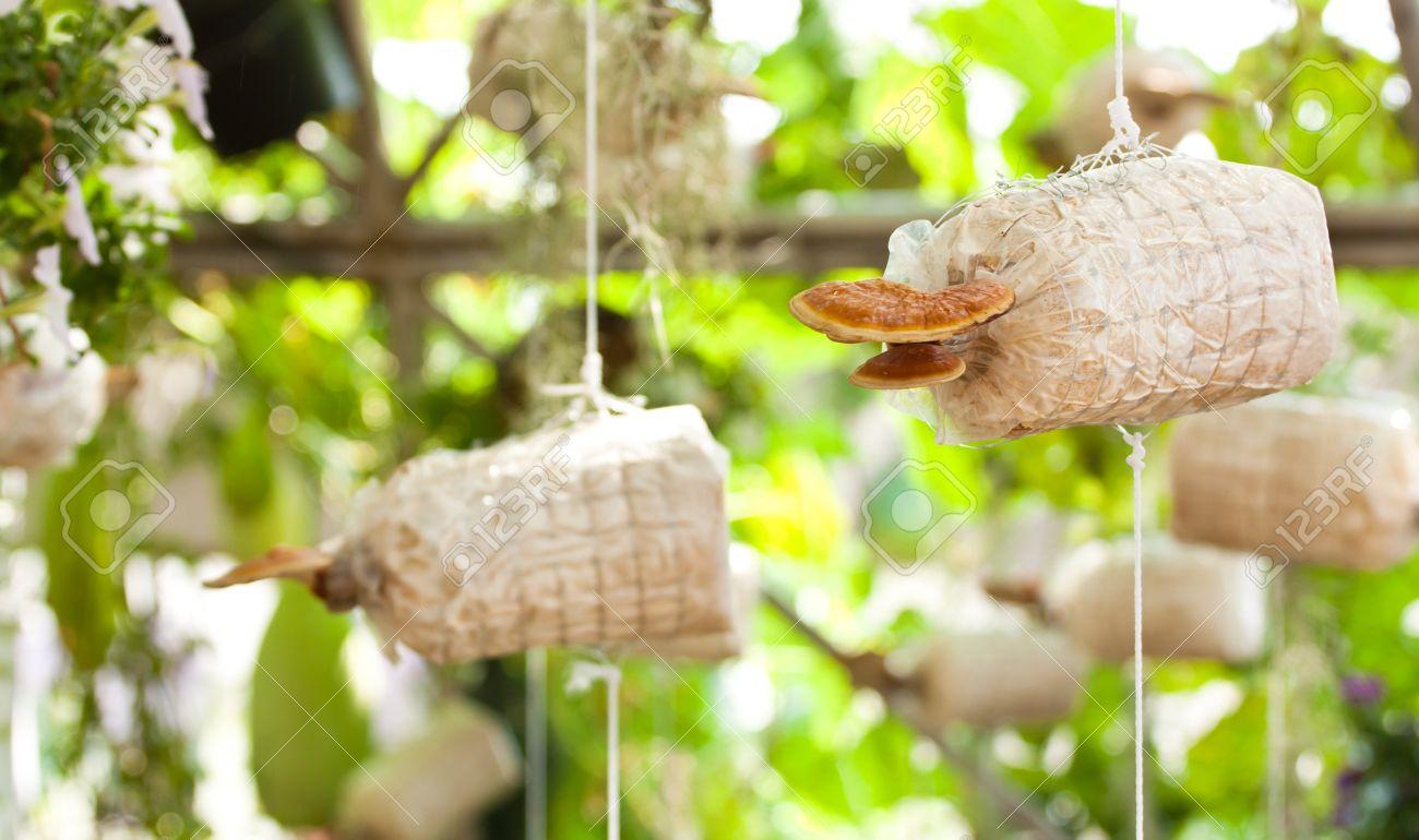 Cultivation of Ganoderma lucidum Stock Photo - 17350758