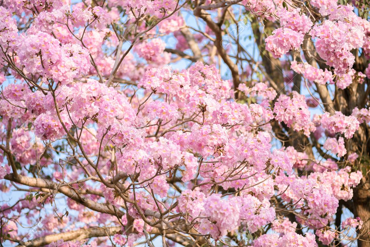 Tabebuia rosea is a pink flower neotropical tree common name stock photo tabebuia rosea is a pink flower neotropical tree common name pink trumpet tree pink poui pink tecoma rosy trumpet tree basant rani mightylinksfo