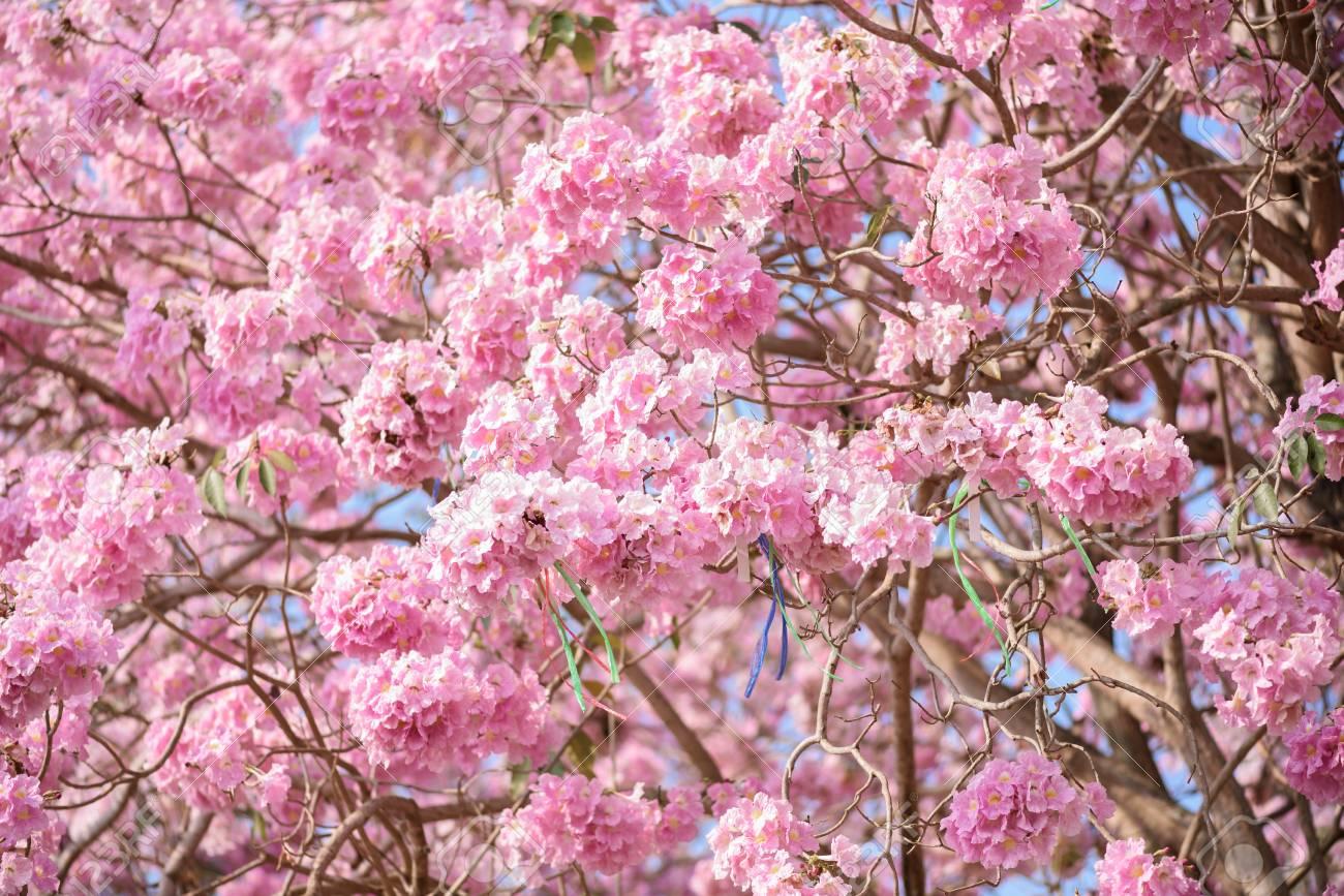 Nomi Di Fiori Rosa.Immagini Stock Tabebuia Rosea E Un Albero Neotropicale Di Fiori