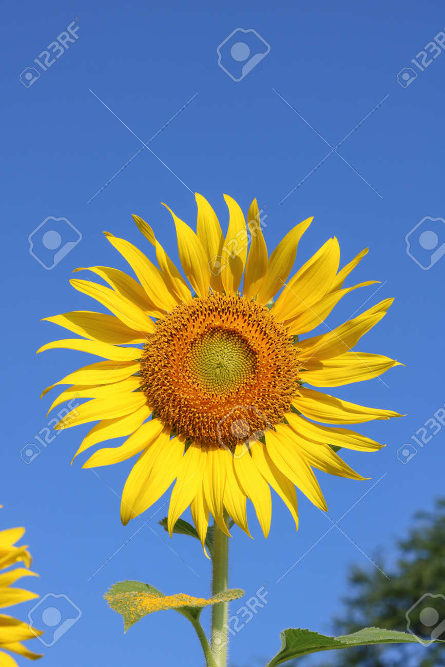 Beautiful sunflower close up at field in Thailand.Sunflower seeds promotes cardiovascular health.Sunflower oil improving skin health - 155230121