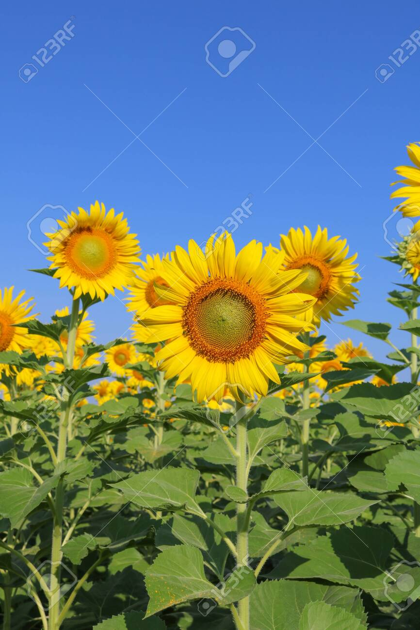 Beautiful sunflower close up at field in Thailand.Sunflower seeds promotes cardiovascular health.Sunflower oil improving skin health - 155230456