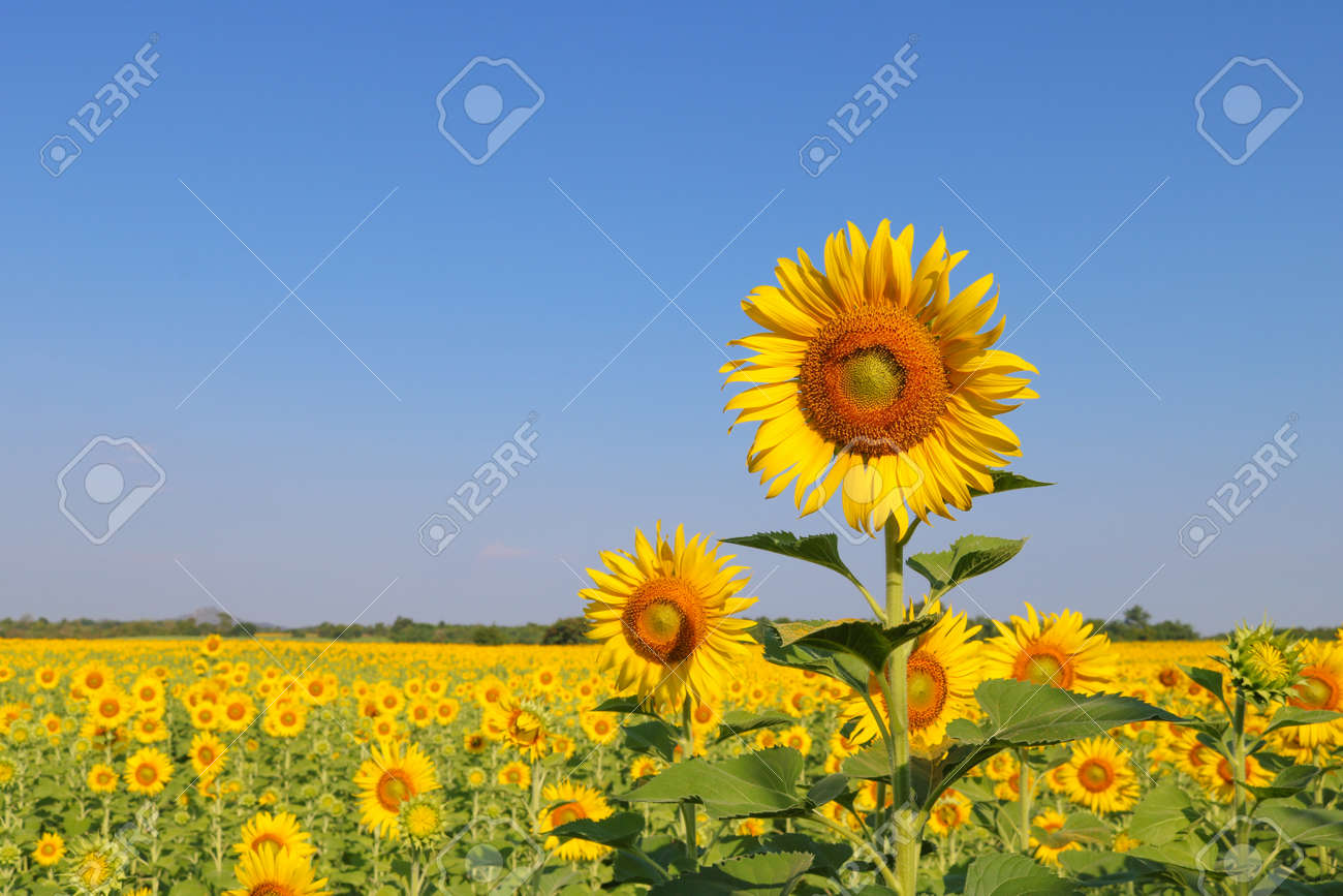 Beautiful sunflower at field in Thailand.Sunflower seeds promotes cardiovascular health.Sunflower oil improving skin health - 155230649