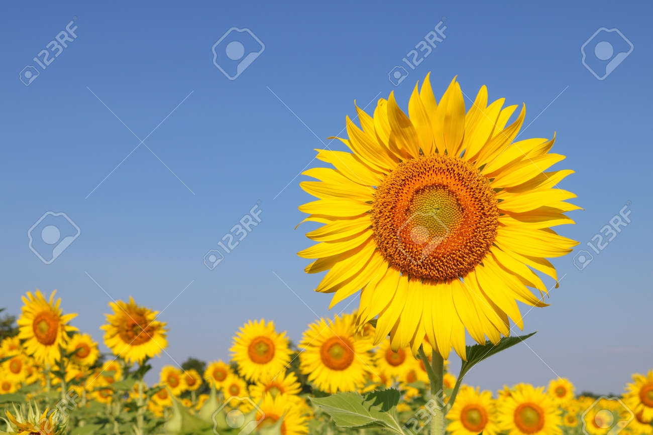 Beautiful sunflower at field in Thailand.Sunflower seeds promotes cardiovascular health.Sunflower oil improving skin health - 155742848