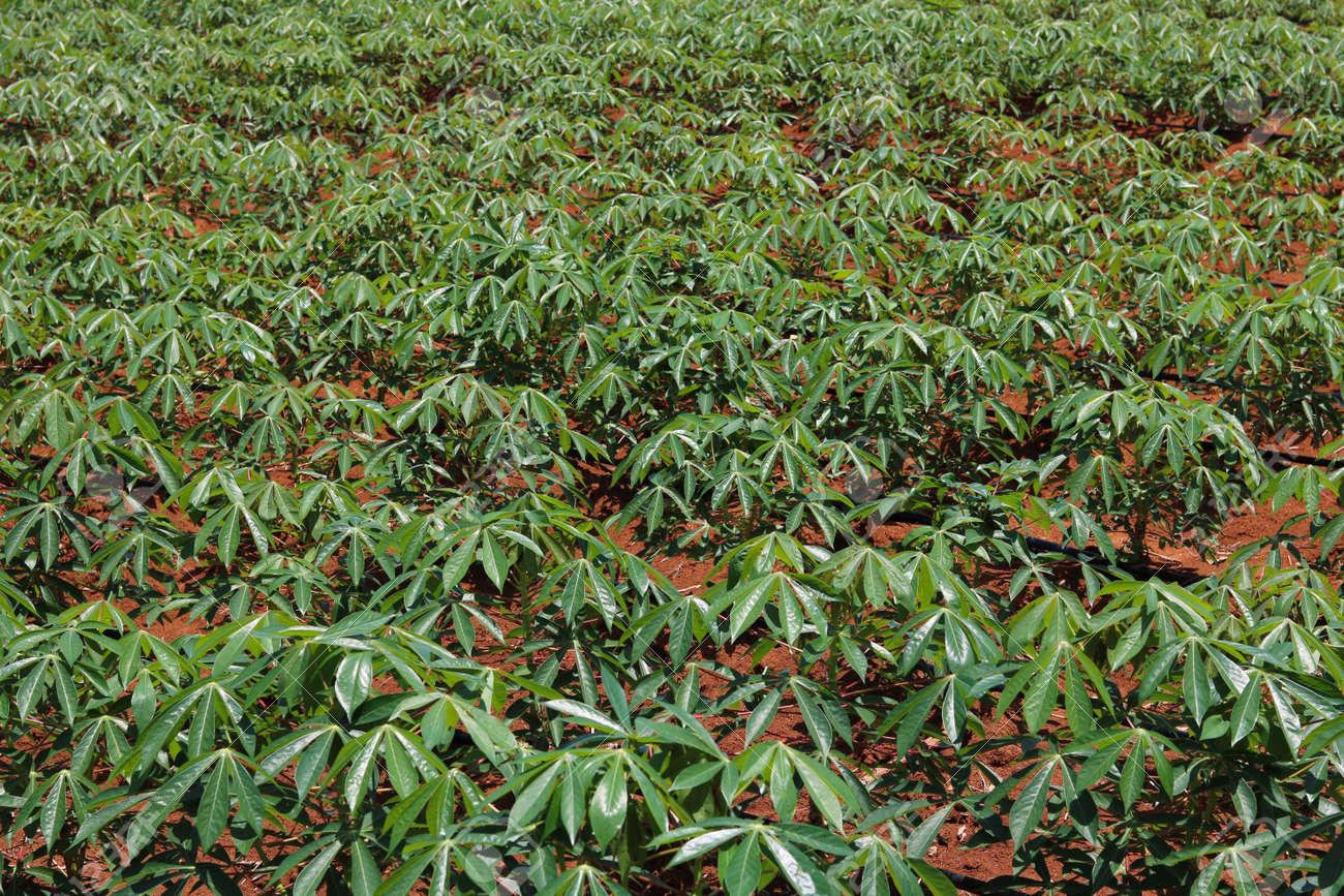 Manioc planting under drip irrigation system - 163461324