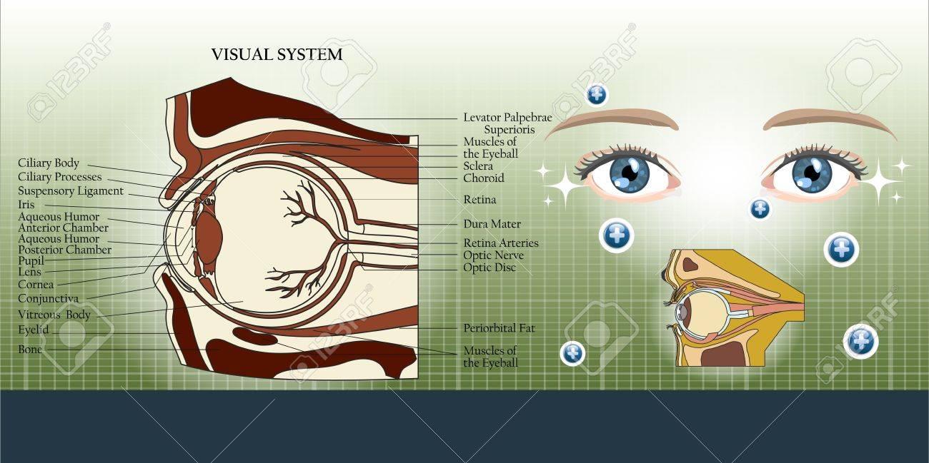 Sistema Visual Y El Fondo Del Ojo Anatomía De La Ilustración ...