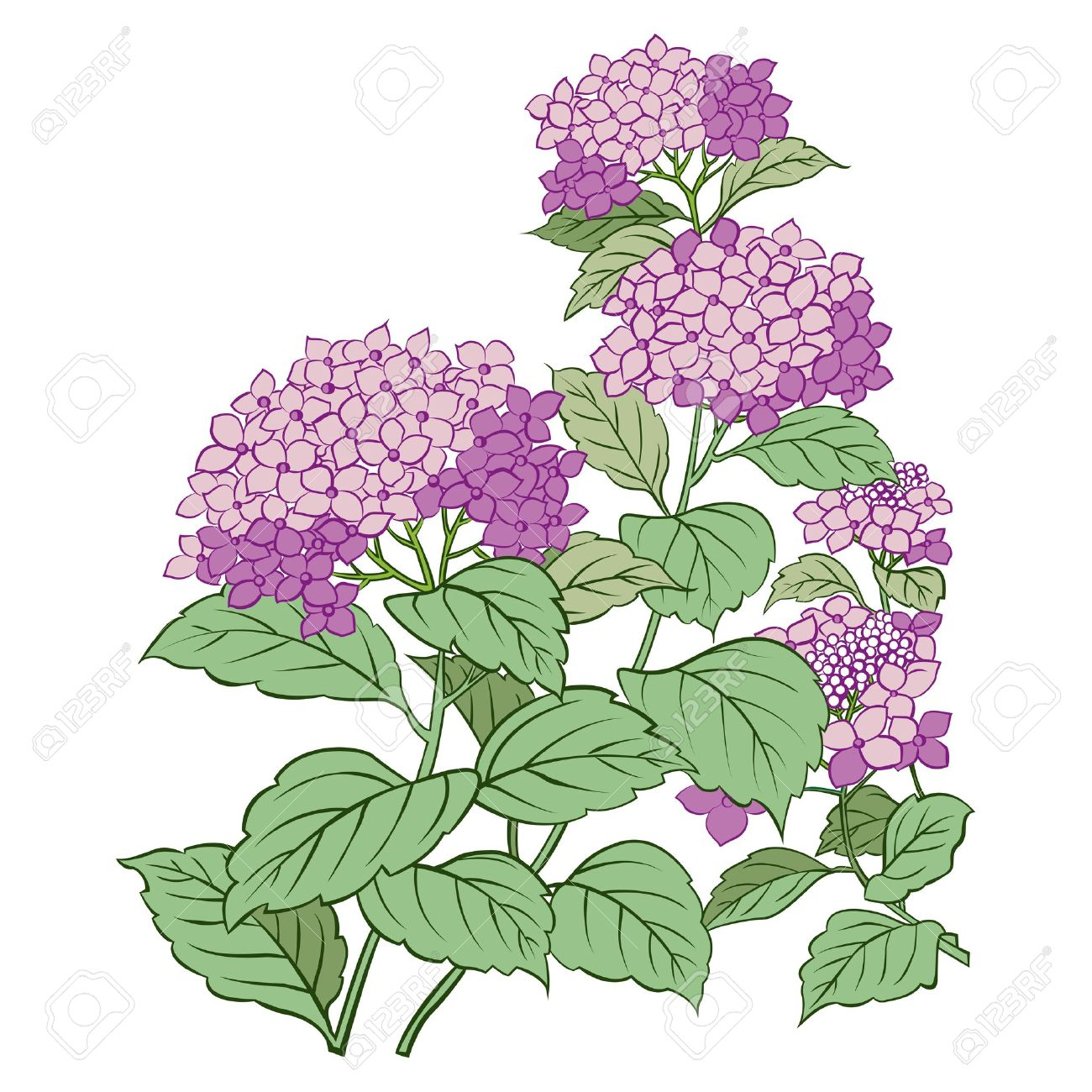 Hydrangea flower and leaf isolated on white Stock Vector - 13395027