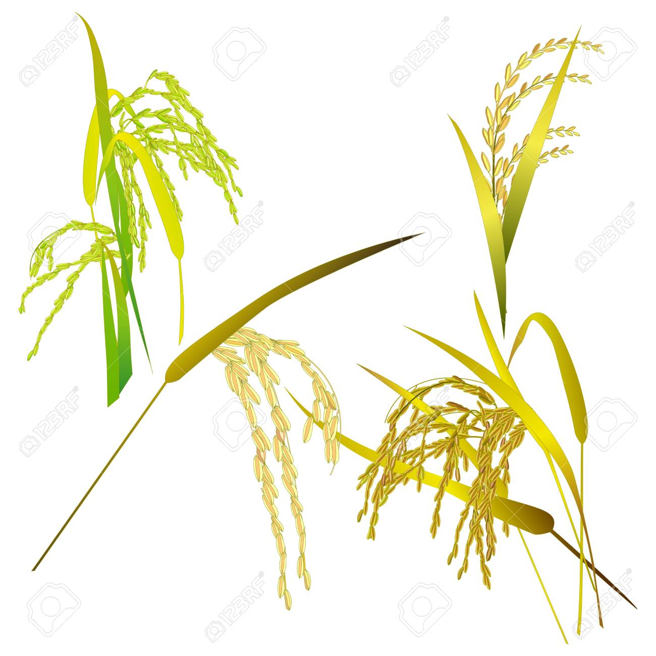 Rice Leaf Drawing Rice Grain Paddy And Leaf