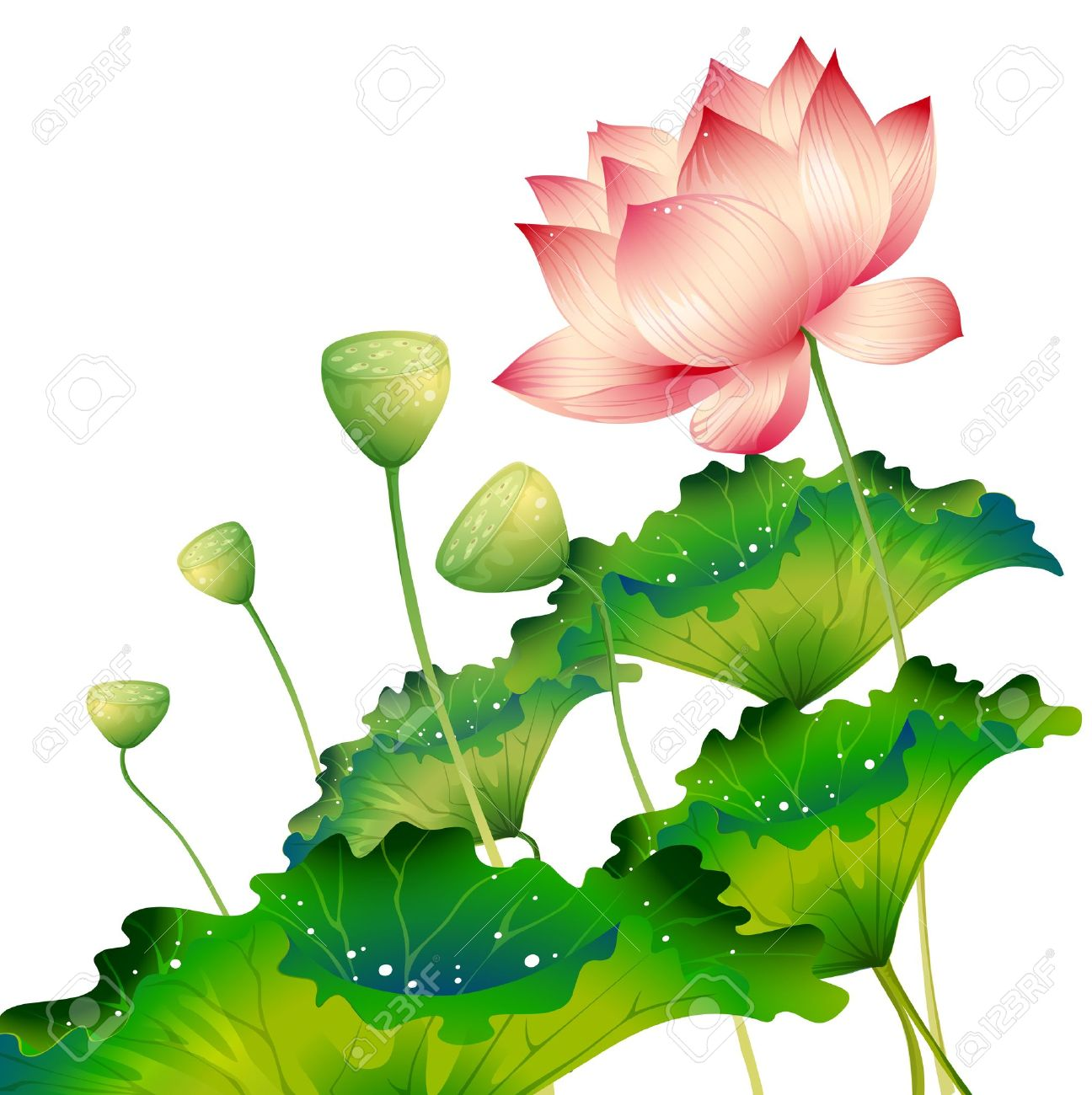 Oriental Lotus Flower Isolated With Lotus Leaf Royalty Free Cliparts