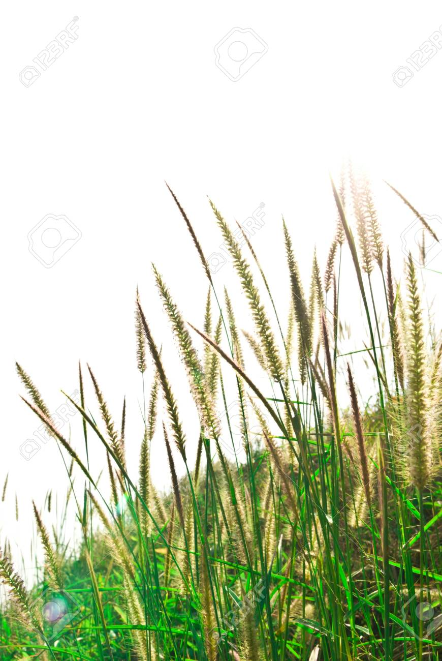 fresh spring green grass isolated on white background Stock Photo - 14190117