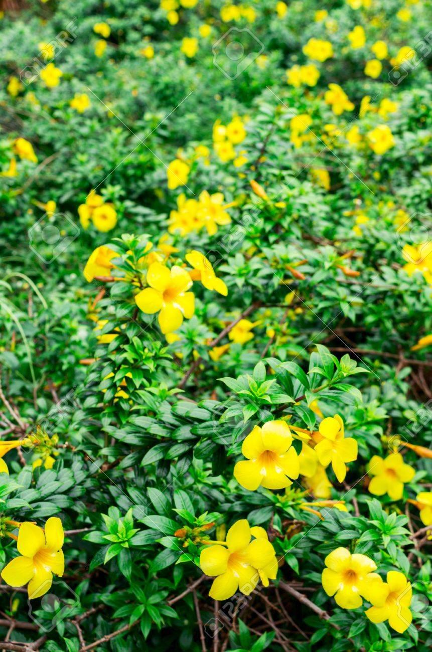 Allamanda also known as yellow bell golden trumpet flower stock allamanda also known as yellow bell golden trumpet flower is a genus of mightylinksfo