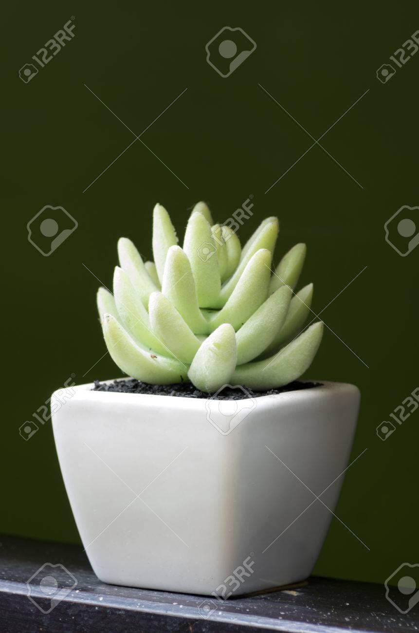 Aloe Vera. In Small White Pots. Using The Interior. Stock Photo ...