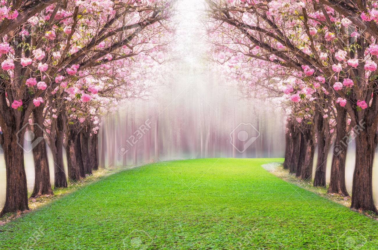 The romantic tunnel of pink flower tree, Pink trumpet tree. - 64531830