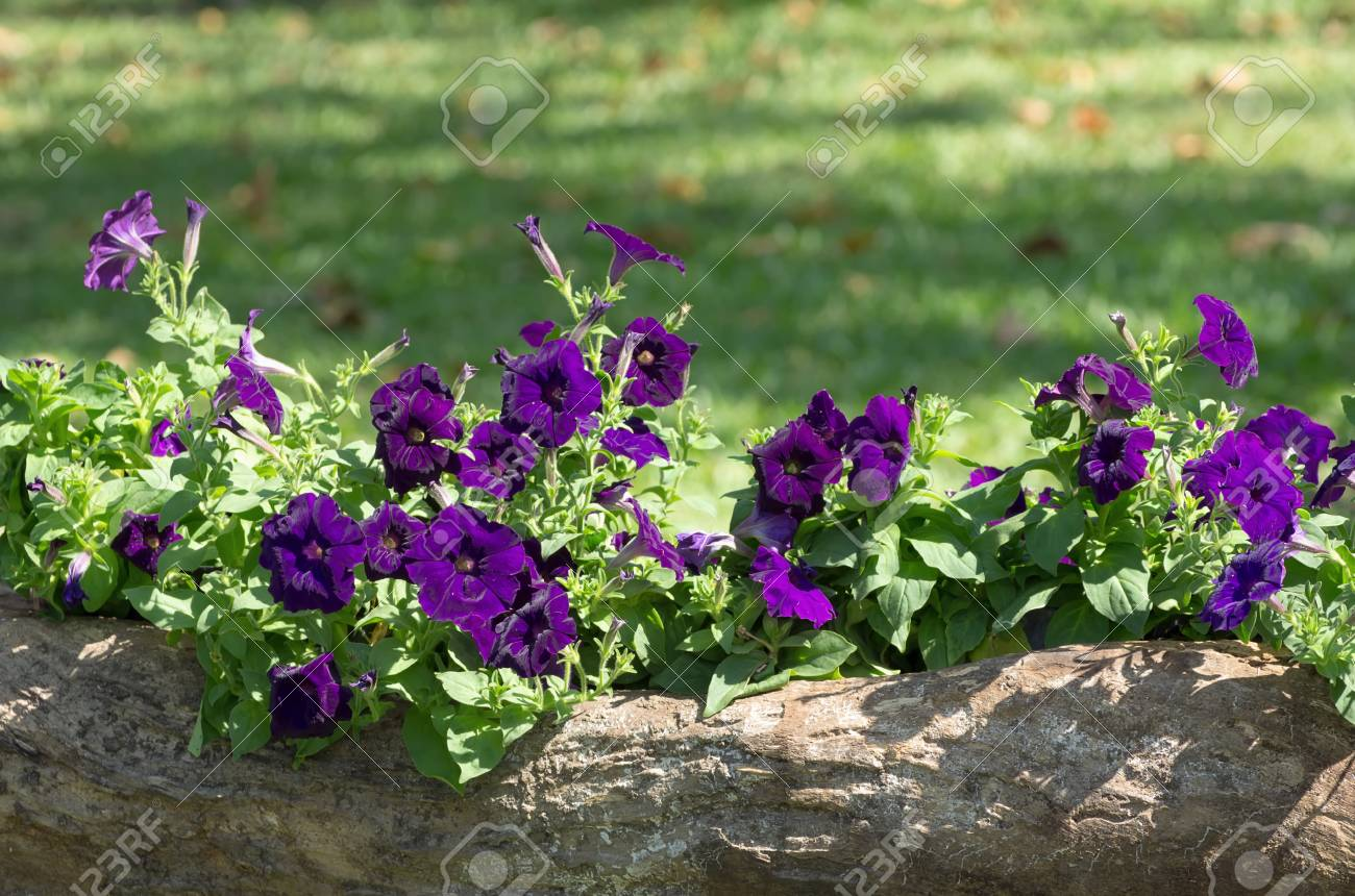 Purple Petunia Flowers On The Flower Bed Stock Photo Picture And Royalty Free Image Image 71041840