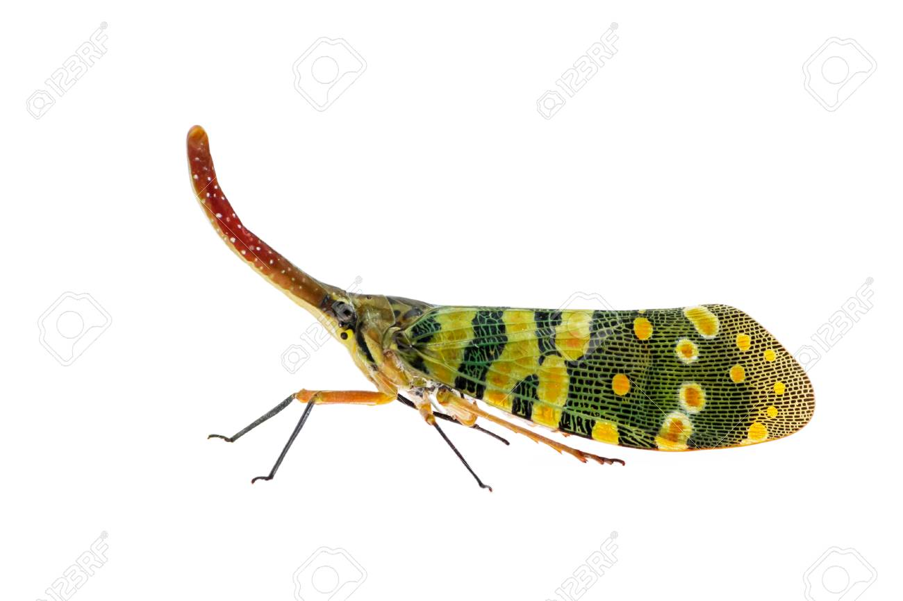 Beautifully Insects colored Pyrops spinolae lanternflies, Fulgorid