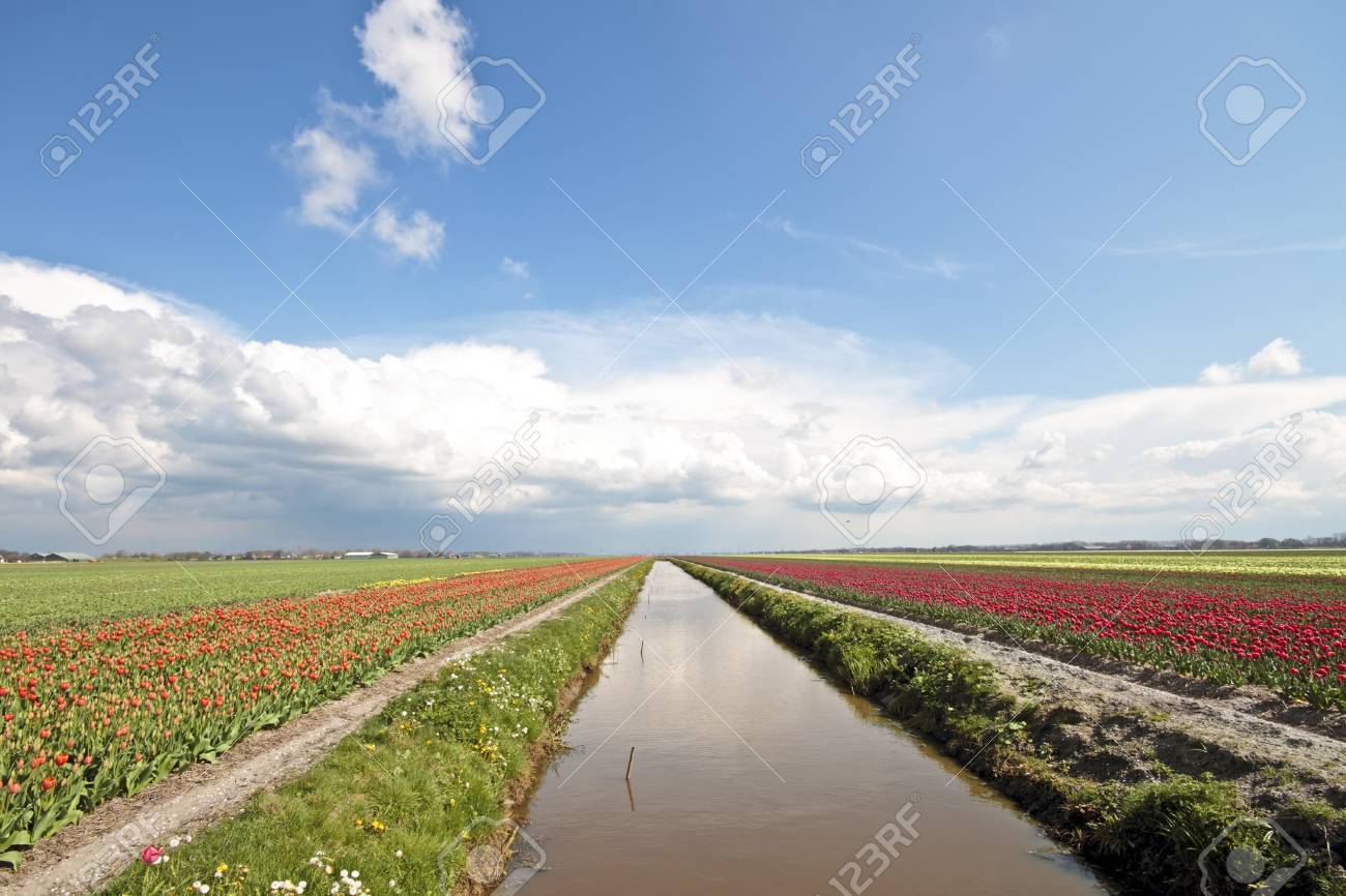 typical dutch landscape in springtime with tulipfields stock photo