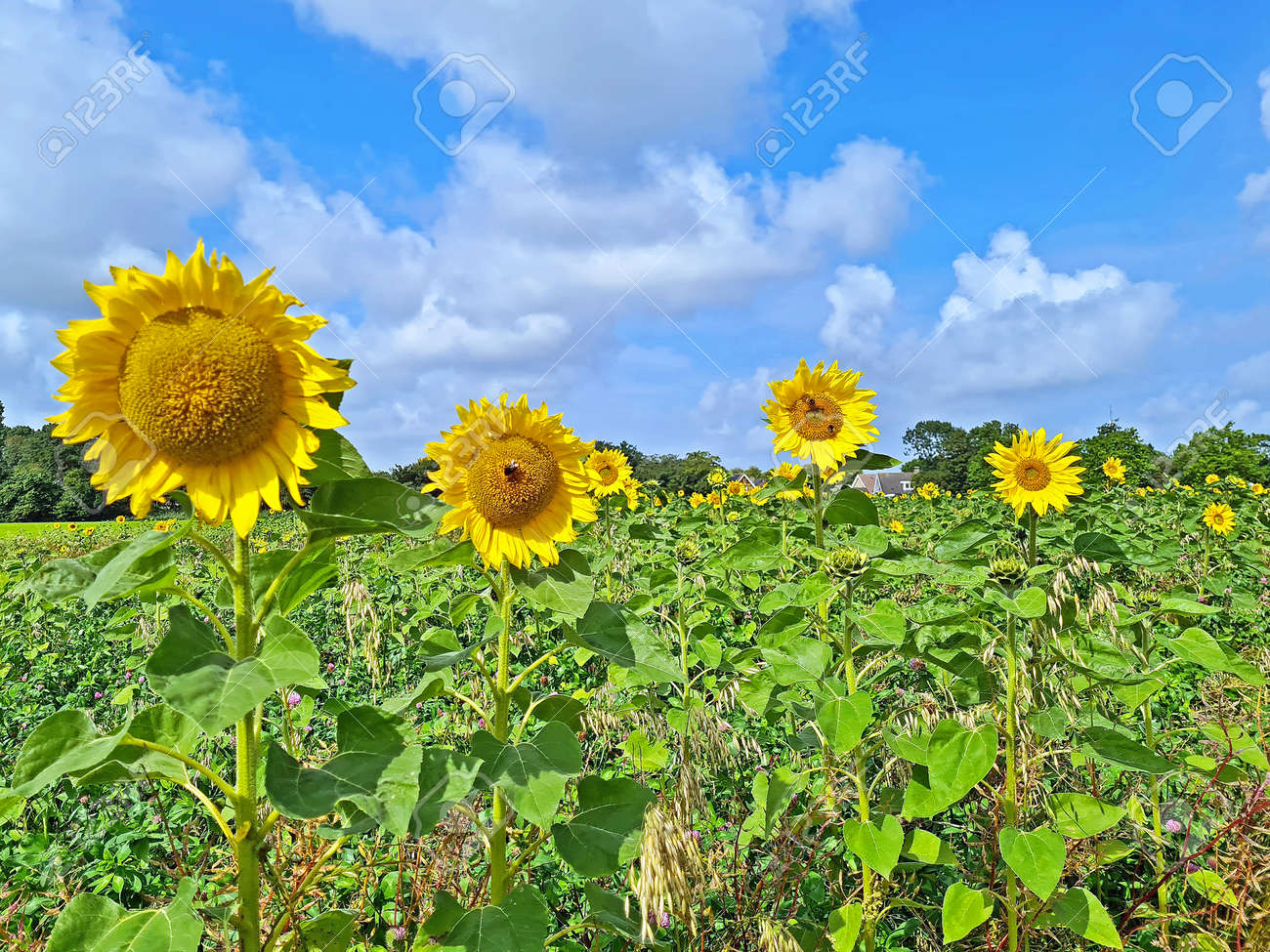 Blossoming sunflowers in the fields in the countryside from the Netherlands - 173297945