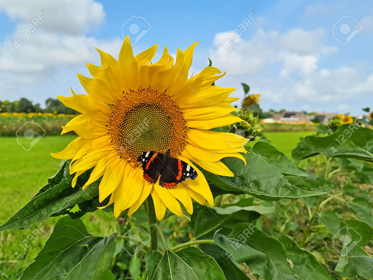 Blossoming sunflower with butterfly in the countryside from the Netherlands - 173297855
