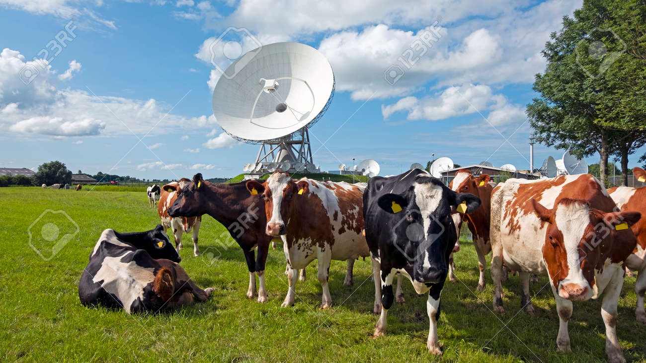 Cows in the field at large dish receivers for satellite communication in Burum The Netherlands - 173298039